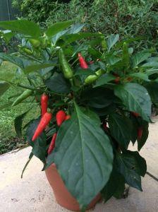 Chilli Plant